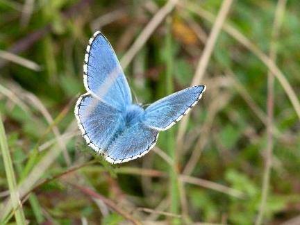 Adonis Blue Therfield Heath 20 Aug