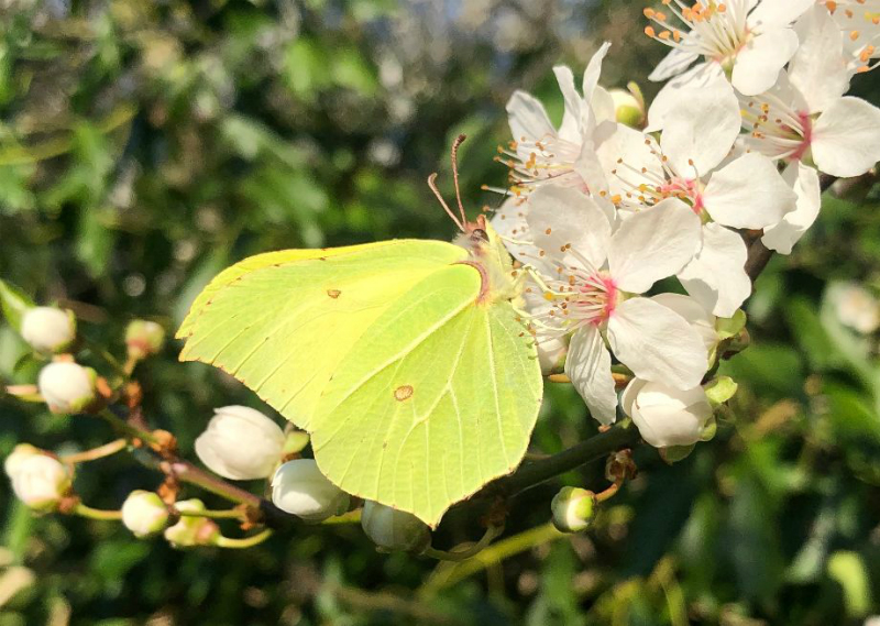 Brimstone Abbots Langley 27 Feb
