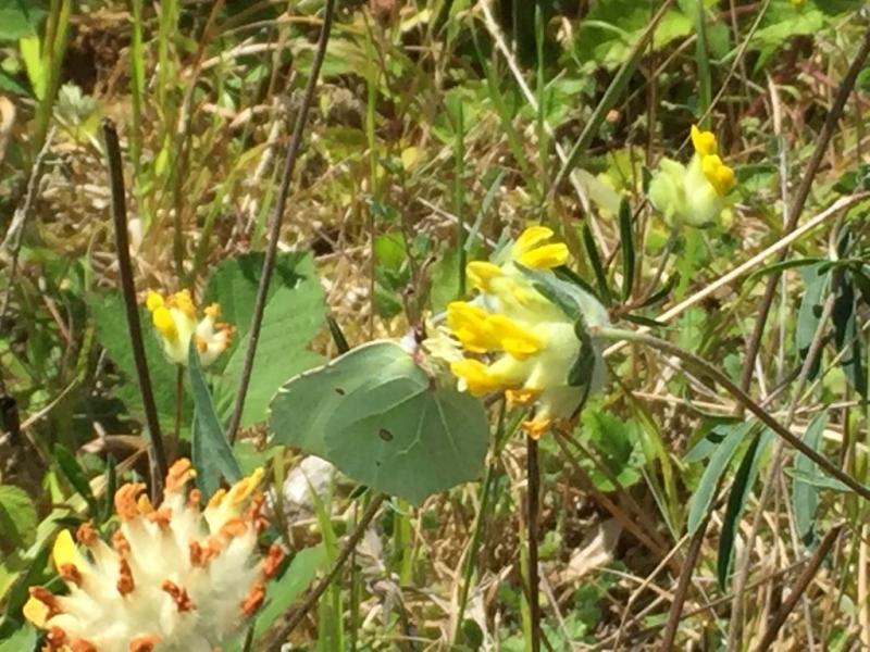 Brimstone AldburyNowers 23 Jul