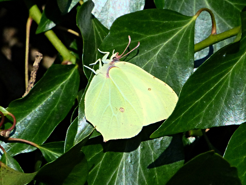 Brimstone Roebuck Woods 23 Feb