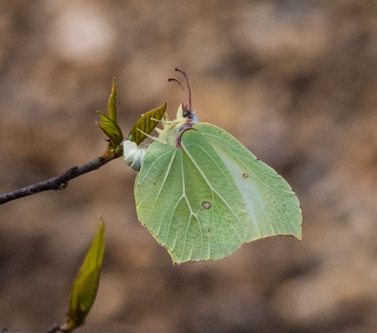 Brimstone egg-laying Letchworth 17 Apr