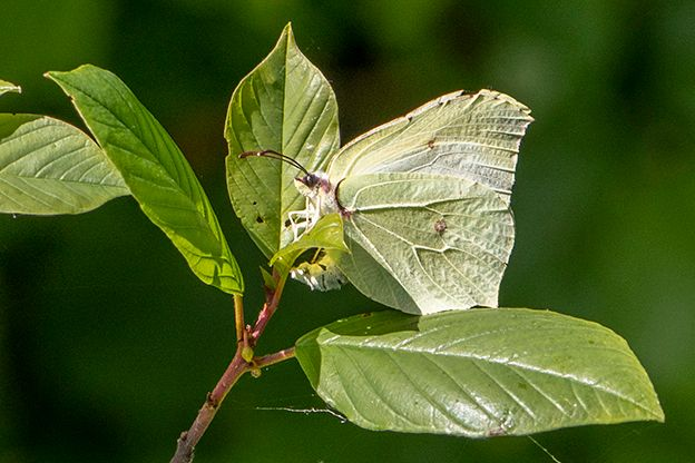 Brimstone ovipositing Bishop's Stortford 1 Jun