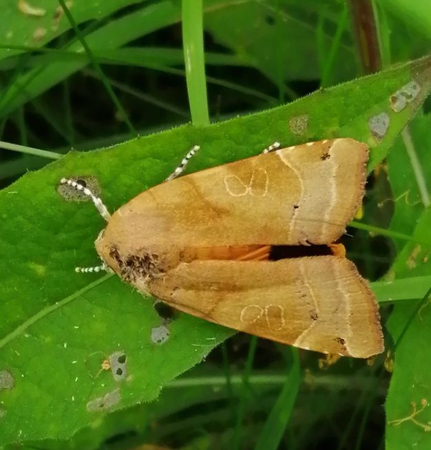 Broad-bordered Yellow Underwing Waterford Church 9 Jul