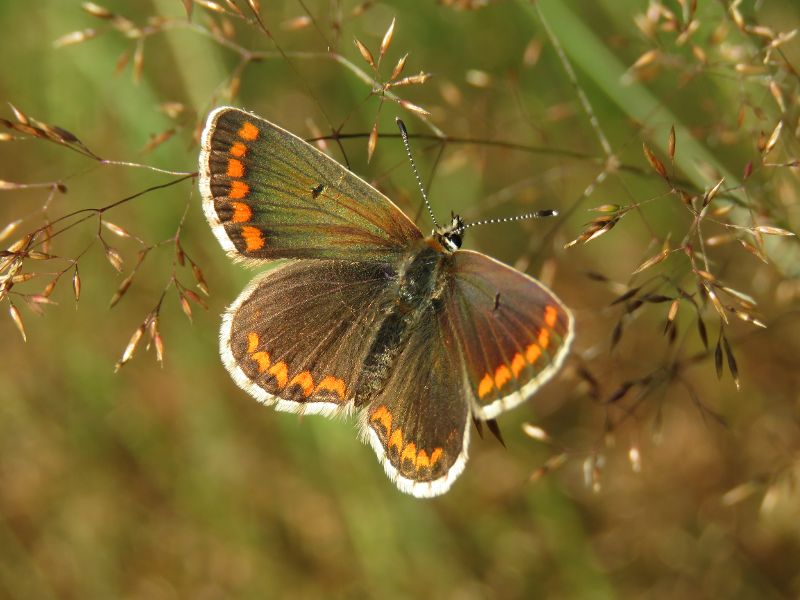 Brown Argus Cannocks Wood 23 Jul
