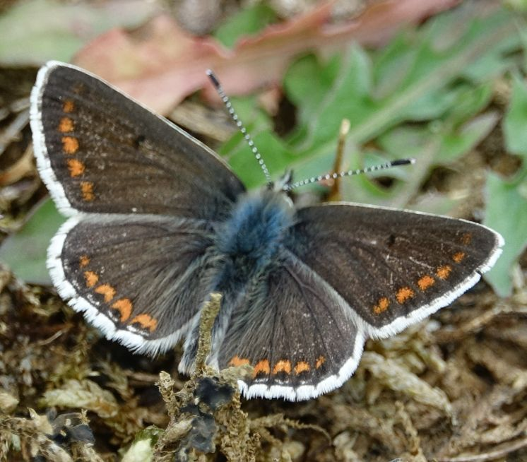 Brown Argus Frogmore GP 7 May