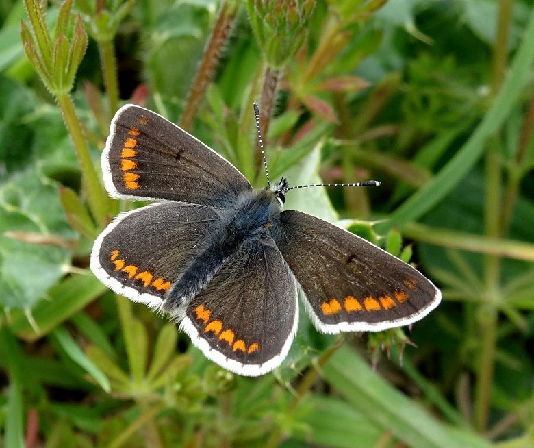 Brown Argus Stanwell Moor 1 May