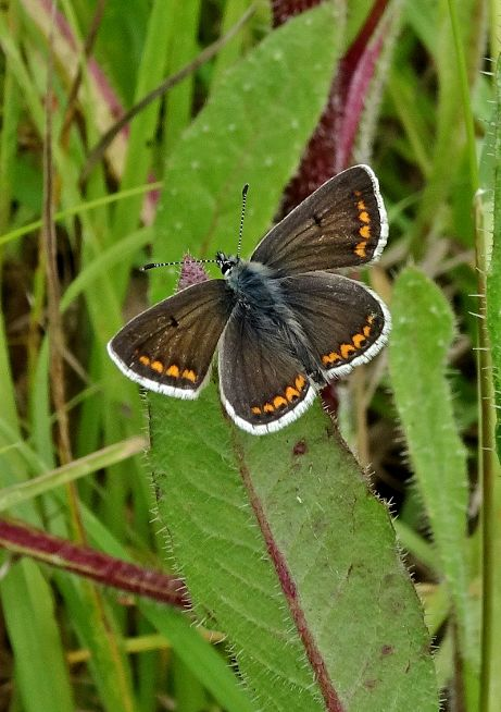 Brown Argus Stanwell Moor 25 Jun