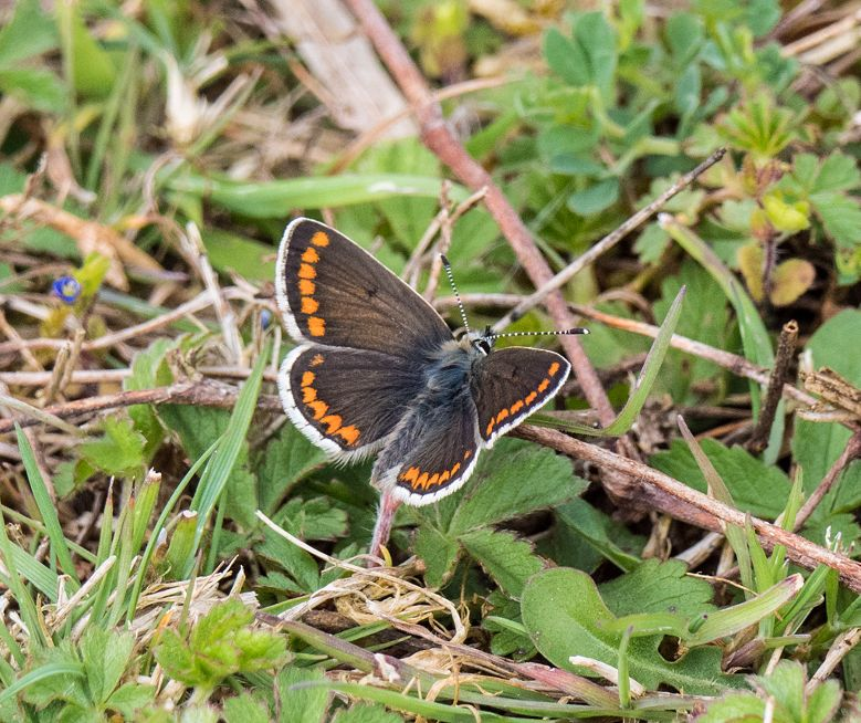 Brown Argus Waterford Heath 30 Apr