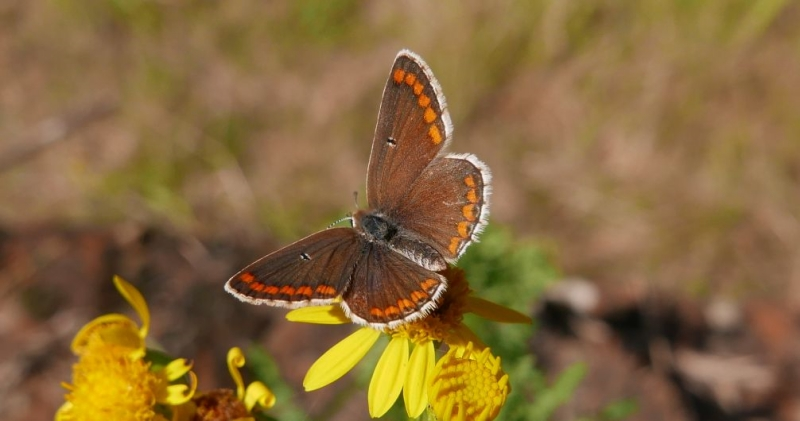 Brown Argus Bengeo 29 Jul