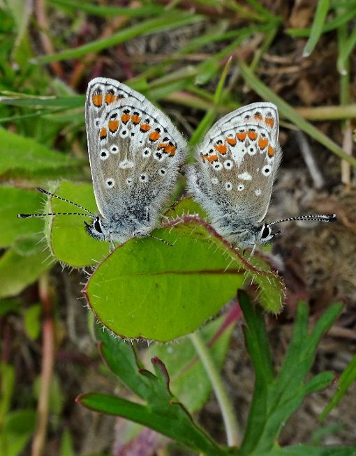 Brown Argus pair Stanwell Moor 2 May