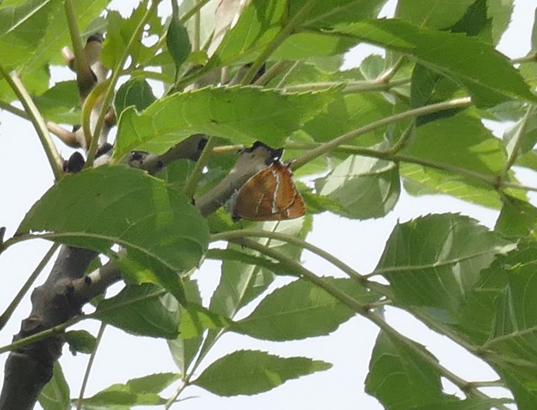 Brown Hairstreak Ickenham 28 Jul