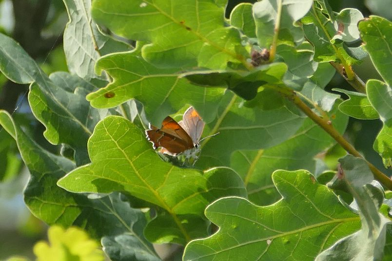 Brown Hairstreak Ickenham 13 Aug