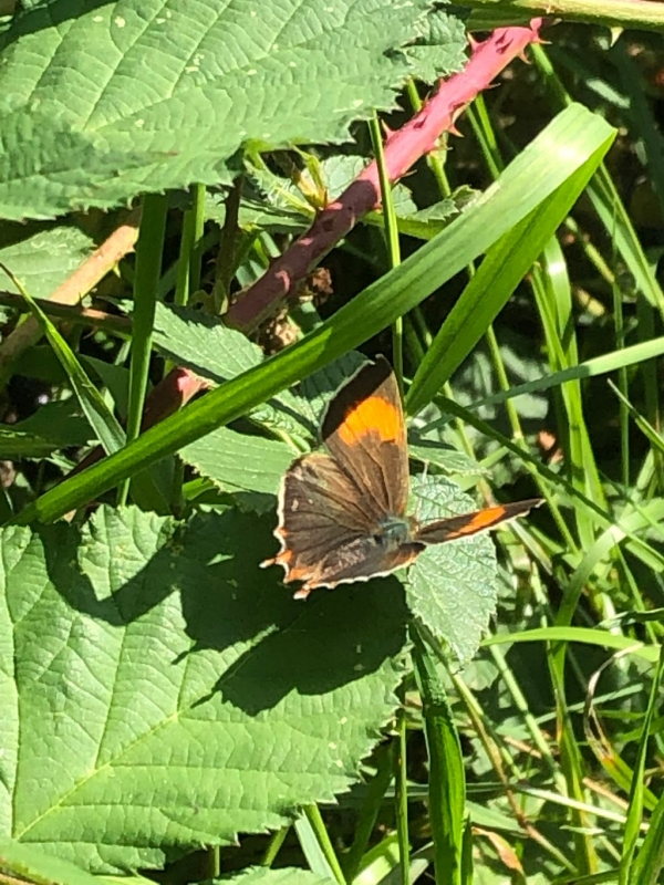 Brown Hairstreak Ickenham 20 Aug