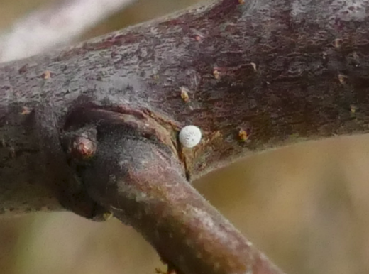 Brown Hairstreak egg Fryent Country Park 1 Jan