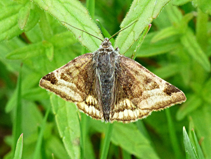 Burnet Companion ab Watery Grove 24 Jun