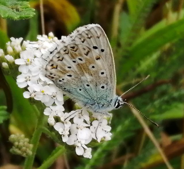 Chalkhill Blue Baldock Services 7 Aug
