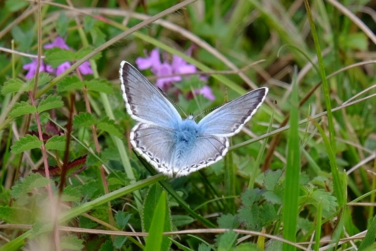 Chalkhill Blue Therfield Heath 2 Jul