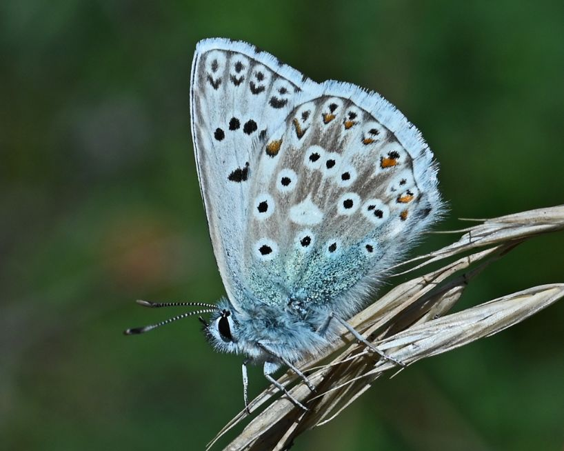 Chalkhill Blue Therfield Heath 4 Jul