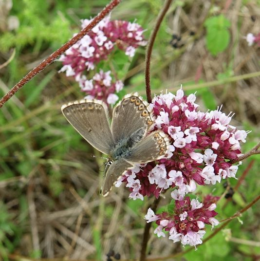 Chalkhill Blue (f) Clothall Common 2 Aug