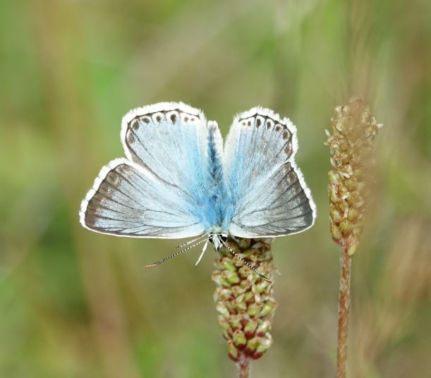 Chalkhill Blue (m) Clothall Common 2 Aug