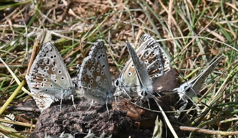 Chalkhill Blues Therfield Heath 22 Jul