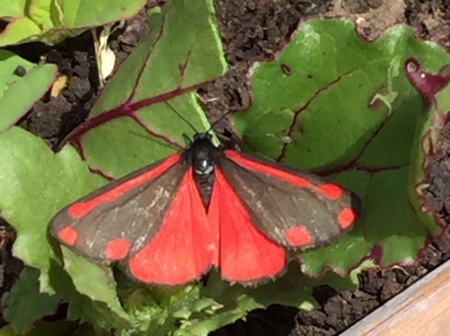 Cinnabar Muswell Hill 6 Jun