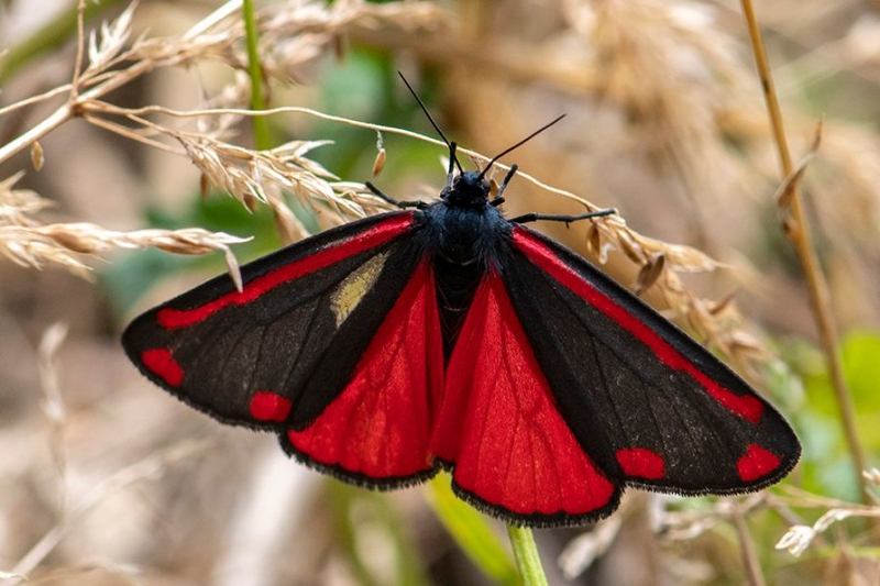 Cinnabar Norton Green Common 11 Jul