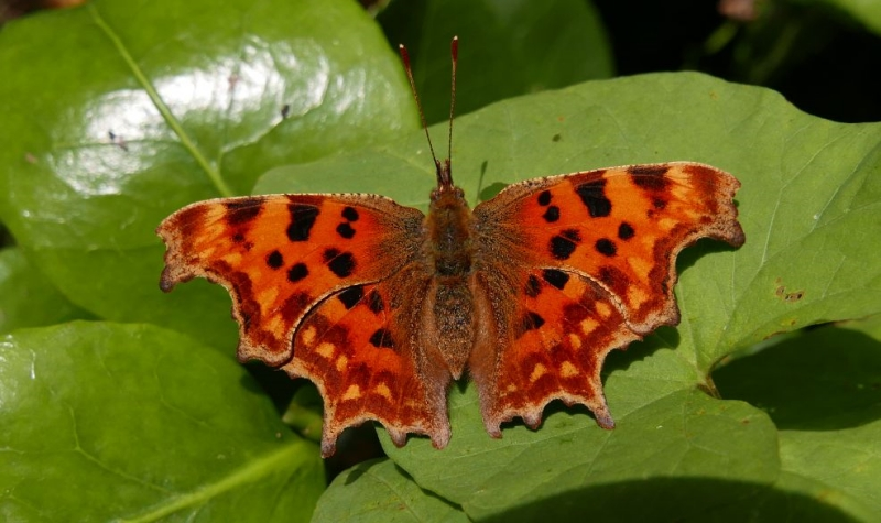 Comma Bengeo 17 Aug