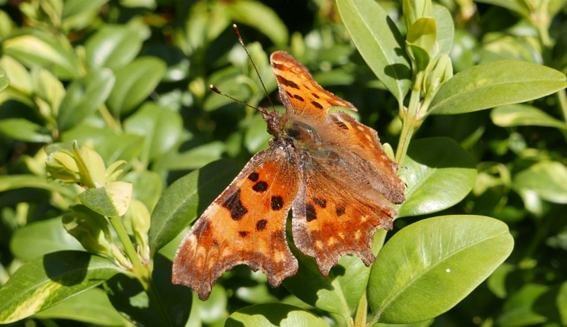Comma Bengeo 24 Mar