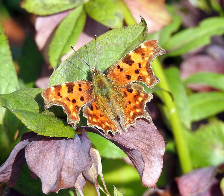 Comma Harpenden 15 Apr