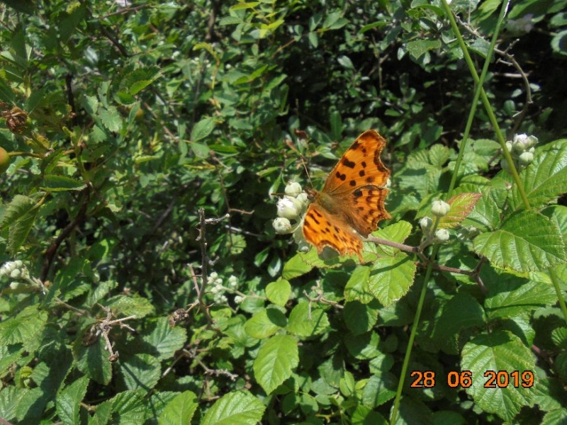 Comma Letchworth 28 Jun
