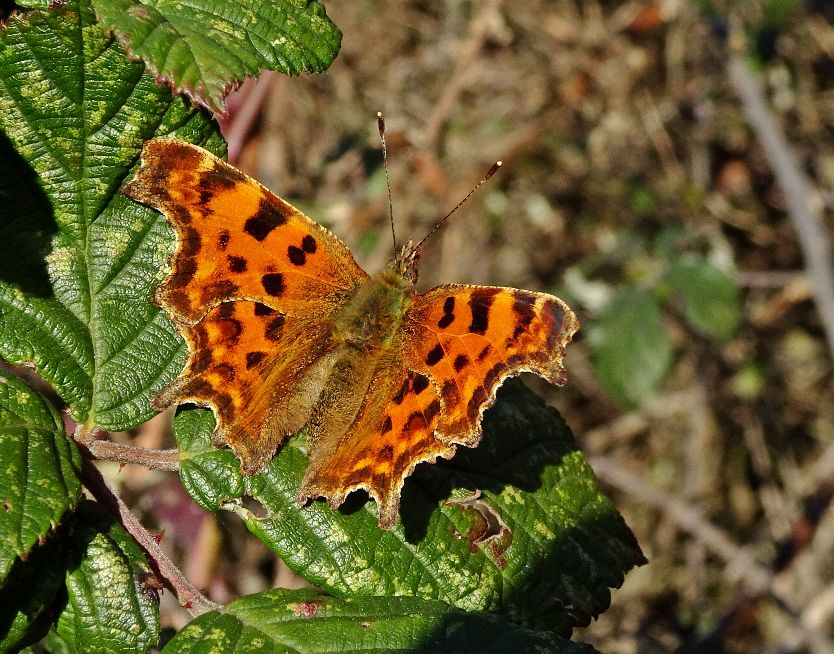 Comma Stanwell Moor 24 Feb