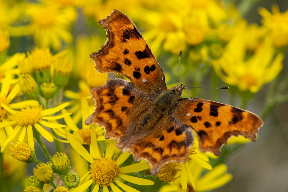 Comma Southern Country Park 15 Jul