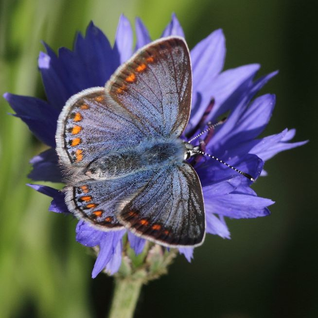 Common Blue(f) Tunnel Gardens 6 Jun