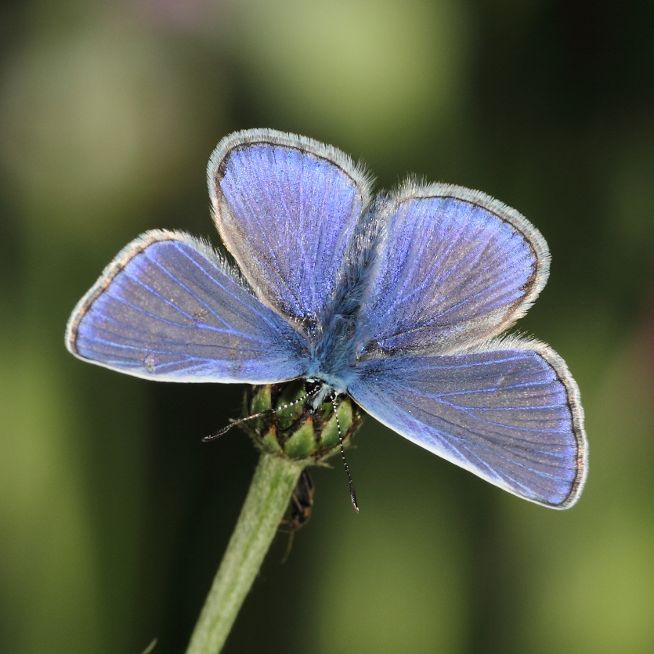 Common Blue(m) Tunnel Gardens 6 Jun