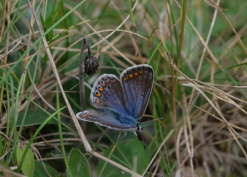 Common Blue Alexandra Park 2 Aug