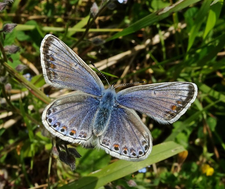 Common Blue Bedfont Lakes 16 May