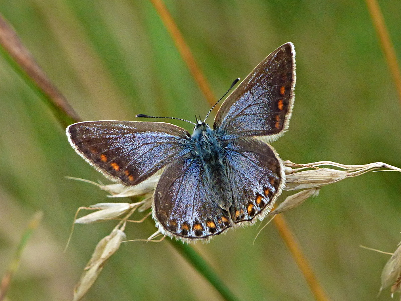 Common Blue Fairlands Valley Park 6 Aug