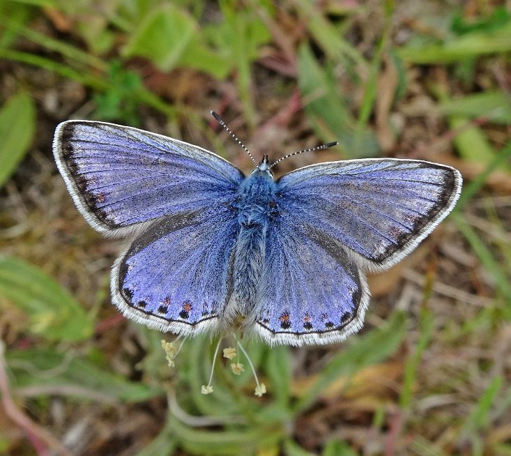 Common Blue Stanwell Moor 28 May