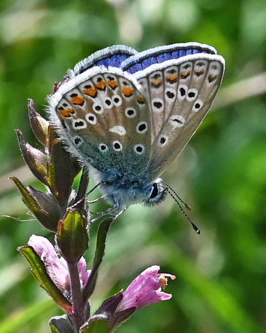 Common Blue Therfield Heath 22 Jul