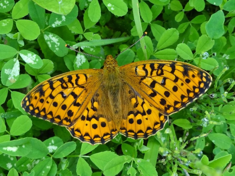 Dark Green Fritillary Hexton Chalk Pit 26 Jun