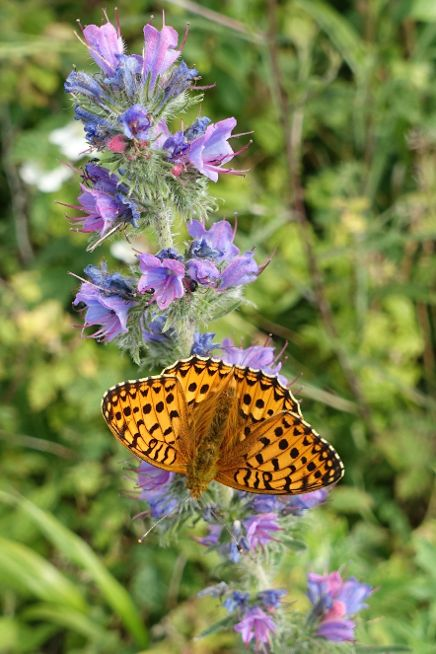 Dark Green Fritillary Therfield Heath 23 Jun