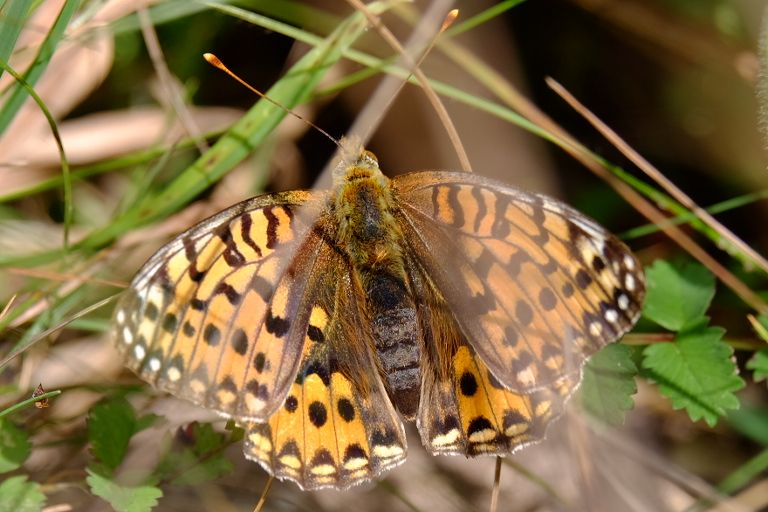 Dark Green Fritillary Therfield Heath 2 Jul