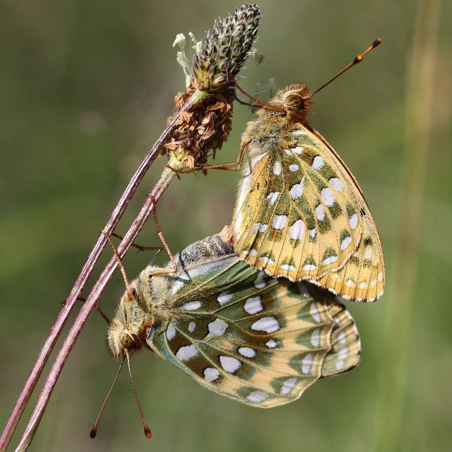 Dark Green Fritillary pair Hexton Chalk Pit 29 Jun