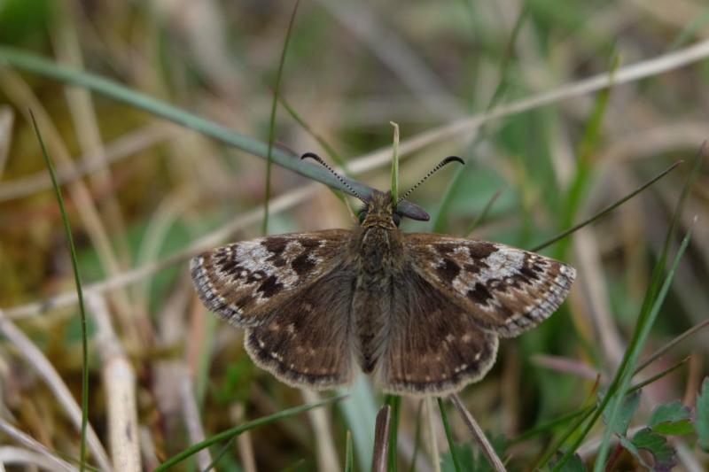 Dingy Skipper Hexton CP 24 Apr
