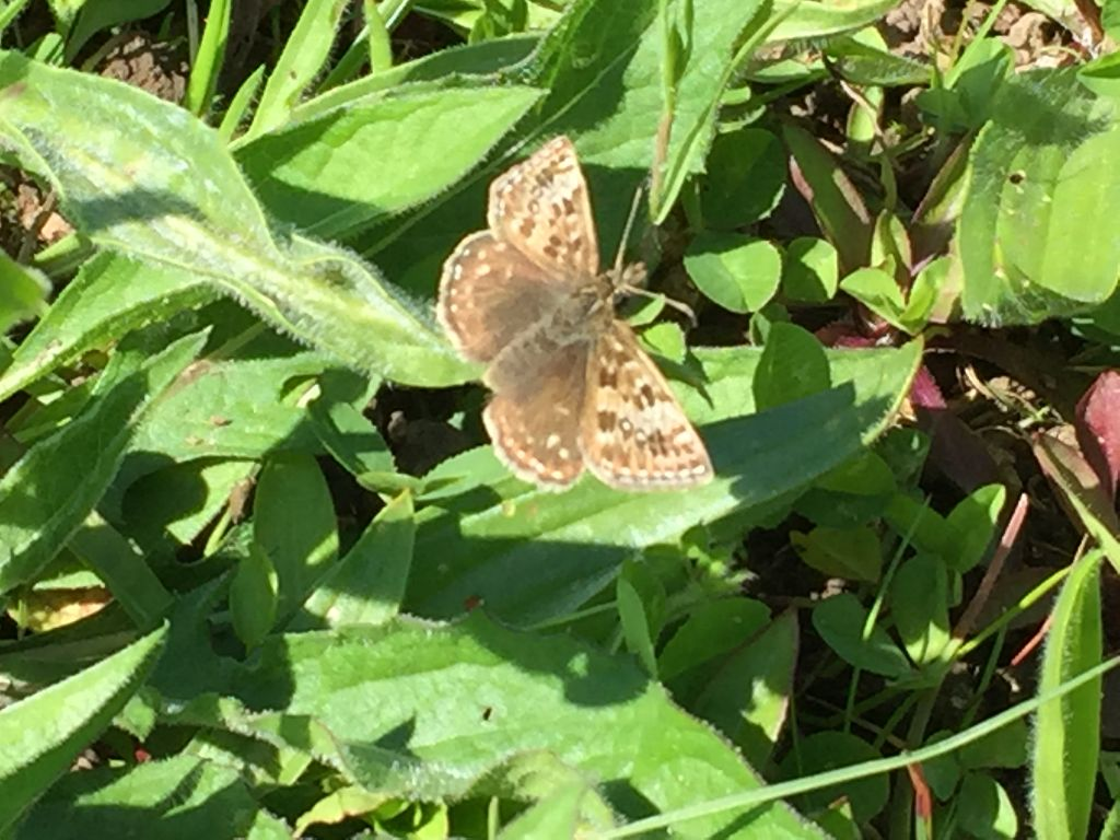 Dingy Skipper Whelpley Hill 11 May