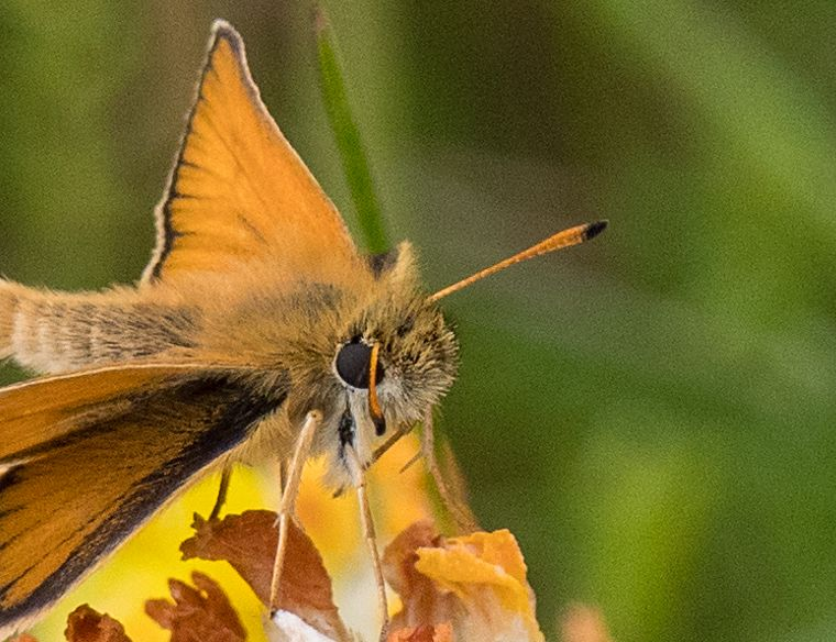 Essex Skipper Hillbrow 9 Jul