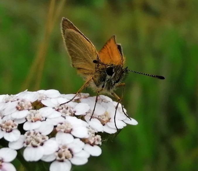 Essex Skipper Panshanger Park 15 Aug