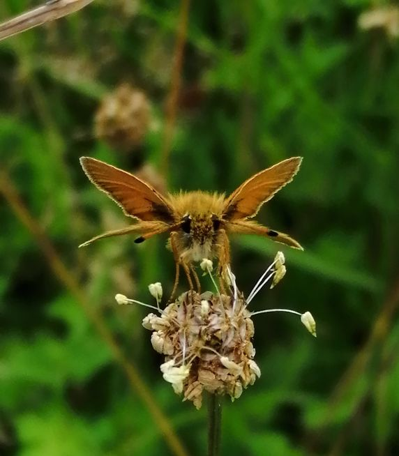 Essex Skipper Waterford Church 9 Jul