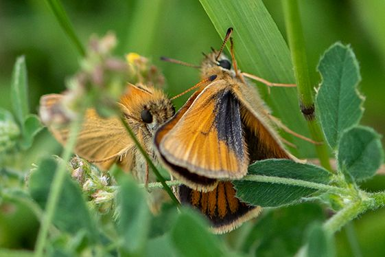 Essex Skippers Southern Country Park 15 Jul